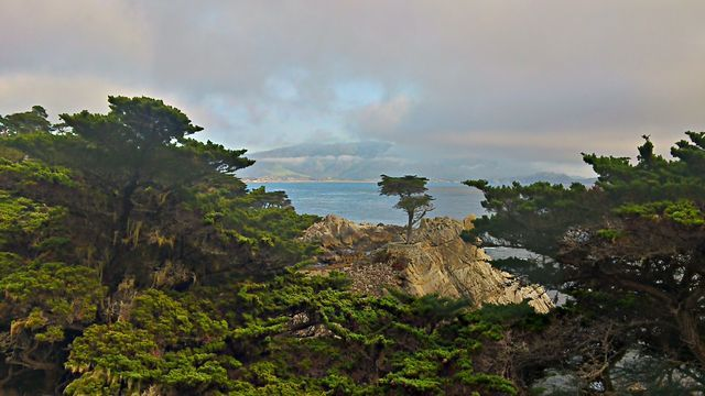 Lonely cypress at Carmel by the sea